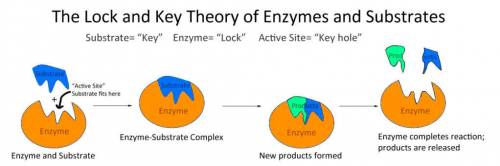 Which statement describes how enzymes and substrates are related?  the enzyme influences the speed o