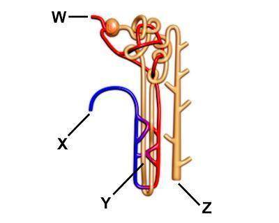 The diagram shows a nephron. Where is the blood first filtered? W X Y Z