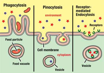 The cell transport process that is opposite of the three pictured is called. a.endocytosis. b.osmosi